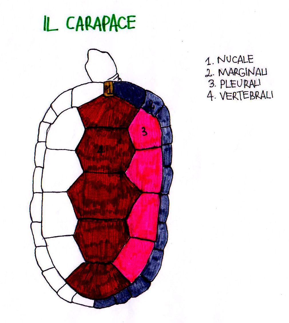 Come Si Chiama Il Guscio Della Tartaruga.Morfologia Della Tartaruga Tartaweb