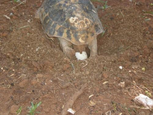 Come mettere le uova nell incubatrice tartaweb for Letargo tartarughe acquatiche