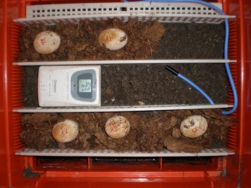 Come mettere le uova nell incubatrice tartaweb for Incubazione uova tartaruga