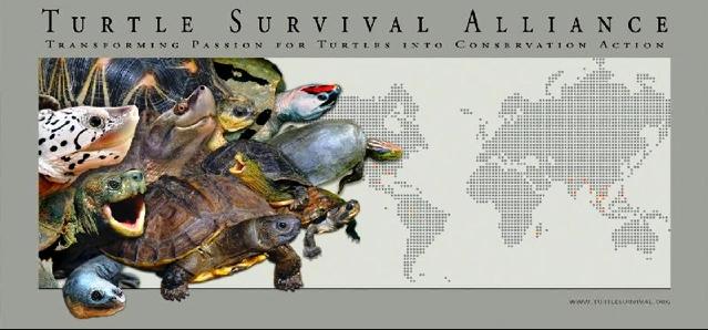 Turtle survival alliance tartaweb for Letargo tartarughe acquatiche