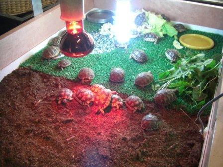Costruzione terrario per tartarughe baby in maniera for Vasca in plastica per tartarughe