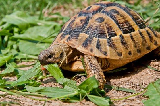 Testudo alimentazione erbivora e principali erbe tartaweb for Letargo tartarughe acquatiche