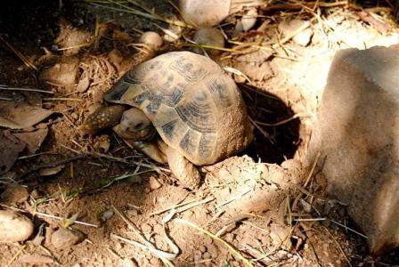 Primi passi nell allevamento delle tartarughe terrestri for Temperatura tartarughe
